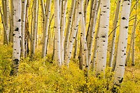 Aspen trunks surrounded by golden leaves in an autumn forest high in the La Sal mountains near Moab, Utah