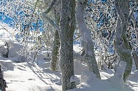 Beech forest, mountain forest, trunks curved from wind, snow and hoar_frost, Vosges, lower mountain ranges, route des cr&#234;tes, Alsace, France