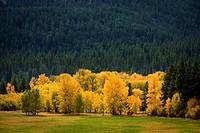 Black Cottonwoods at edge of field, autumn