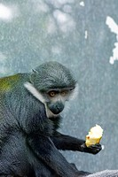Diana Monkey Cercopithecus diana, eating fruit