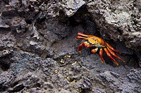 Sally Lightfoot Crab (Grapsus grapsus), Bartolome Island, Galapagos Islands, Ecuador