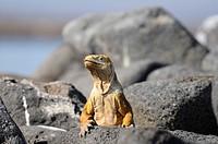 10856927, Ecuador, Land Iguana, Conolophus pallidu