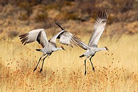 Sandhill crane, Grus canadensis, Kanadakranich, two flying, in flight, winter quarters, Bosque del Apache National Wildlife Refuge, New Mexico, USA