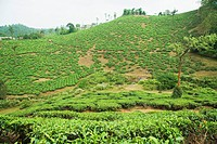 Tea plantation in a field, Mysore, Karnataka, India