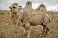 Two-humped camel, north central Mongolia The two-humped camel is the Bactrian Camel Camelus bactrianus, native to the steppes of Mongolia