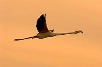 flamingo, phoenicopterus ruber