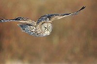 Great gray owl Strix nebulosa in flight. Standing 27 inches tall with a wingspan of 52 inches, this is our longest owl. When vole populations crash in...