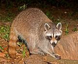 Raccoon Procyon lotor. Duval County, Florida.