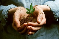 Hands holding a seedling.
