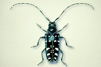 Illustration of a female asian long_horned beetle, Anoplophora glabripennis, an imported pest of trees.