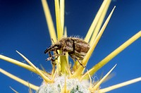 Yellow starthistle hairy weevil, Eustenopus villosus, introduced into the US from Europe to control the invasive yellow starthistle, Centaurea solstit...