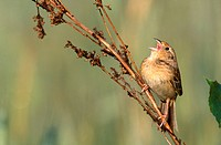 Singing Grasshopper Sparrow Ammodramus savannarum.