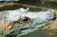Dwarf crocodile Osteolaemus tetraspis, St. Augustine, Florida.