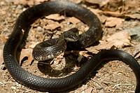 Black Rat Snake Elaphe obsoleta obsoleta.