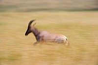 Topi Damaliscus korrigum running through tall grass, Masai Mara, Kenya, Africa