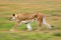 Lioness in motion Panthera leo, Masai Mara, Kenya, Africa