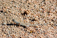 Zebra_tailed lizards, callisaurus draconoides, are lizards of the genus Callisaurus in the reptile order Squamata. These lizards live in open desert w...
