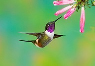 A male purple_throated woodstar hummingbird Calliphlox mitchellii, Ecuador.