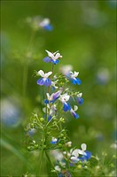 Blue_eyed Mary Flower, Collinsia verna.