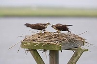 Osprey Pandion halietus feeding chicks at nest on nesting platform. Edwin B. Forsythe National Wildlife Refuge, New Jersey.