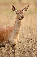 Red deer female (Cervus elaphus)