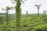 Trees in a tea garden, Mysore, Karnataka, India