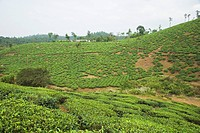 Tea garden with hill in the background, Mysore, Karnataka, India