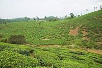 Tea garden with hill in the background, Mysore, Karnataka, India