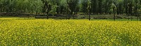 Mustard crop in a field, Jammu And Kashmir, India