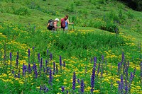 Two women hiking on trail through sea of flowers, Unterlochalm, Zammer Loch, Lechtal range, Tyrol, Austria