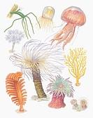 Zoology: Invertebrates - Coelenterata. Art work