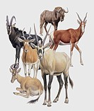 Zoology: Mammals - Neotragines. Art work