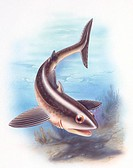 Palaeozoology - Devonian/Permian period - Extinct fishes - Cladoselache (Chondrichthyes, squaliformes) - Art work by Robin Carter