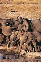 Zoology - Mammals - Proboscidea. Elephanst, Etosha National Park, Namibia