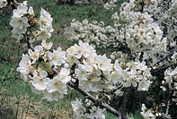 Botany - Rosaceae - Cherry tree (Prunus avium). Flowers