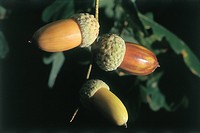 Botany - Fagaceae. Common oak (Quercus robur). Acorns