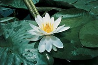 Botany - Flowers - Nymphaeaceae. European white water lily (Nymphaea alba)