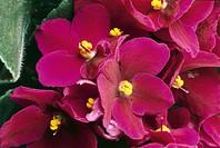Botany - Flowers - Gesneriaceae. African violet (Saintpaulia ionantha)