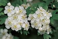 Botany - Rosaceae. Hawthorn (Crataegus) Flowers