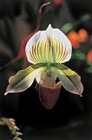Botany - Orchidaceae. Venus' slipper (Paphiopedilum Ernest Reed)