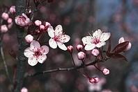 Botany - Trees - Rosaceae. Cherry plum (Prunus cerasifera var. pissardii). Flowers
