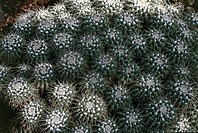 Botany- Cactaceae. Mother of hundreds (Mammillaria compressa)