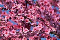 Botany - Trees - Rosaceae. Peach (Prunus persica). Branches in blossom