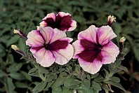 Botany - Solanaceae. Petunia. Petunia ×hybrida