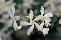 Botany - Oleaceae. Winter jasmine (Jasminum polyanthum). Detail