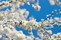 Ornamental shrub, detail, branches, bloom, white, outside, blue, bloom, prime, botany, shrub, scent, fragrant, flora, season, spring, nature, plant, b...