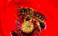 Seed_poppy, Papaver dubium, detail, bloom, honey_bee, nature, flora, fauna, plant, flower, game_flower, poppy_plant, poppy, poppy, insect, bee, animal...