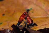 STRAWBERRY POISON FROG Dendrobates pumilio two disputing territory. Costa Rica. Central America