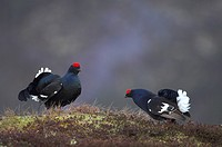 Black Grouse Tetrao tetrix rival males displaying to each other at dawn