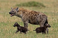 SPOTTED HYENA Crocuta crocuta mother & cubs. Masai_Mara game reserve. Kenya